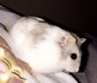 Smigles the Hamster