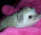 Oscar the Hedgehog